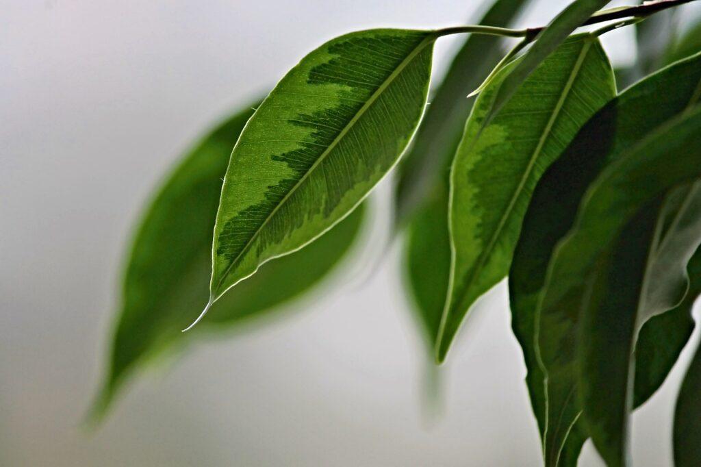 fikus-rastlina